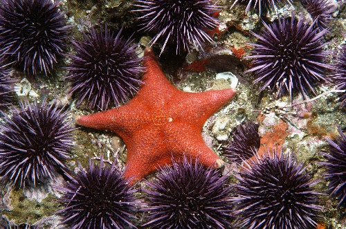 Why Are Millions of Starfish 'Melting'?