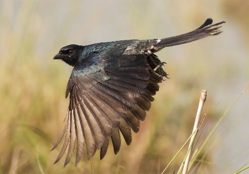 African Bird Shouts False Alarms to Deceive and Steal, Study Shows