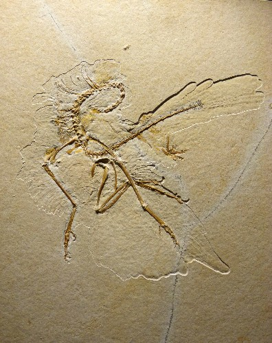 Dinosaur-Era Fossil Shows Birds' Feathers Evolved Before Flight