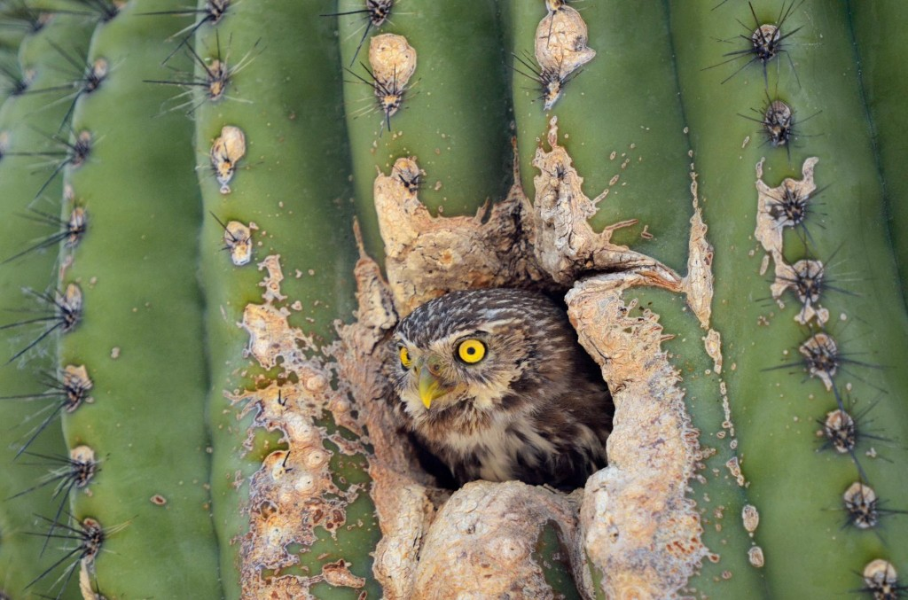 Can this tiny owl survive in one of America's fastest-growing states?