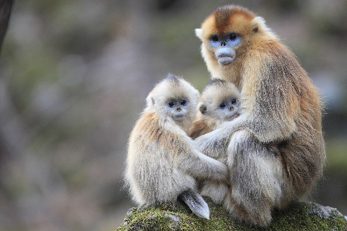 Why do these monkeys nurse each other's babies?