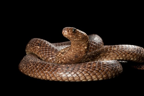 Cannibal cobras: Male snakes eat each other shockingly often