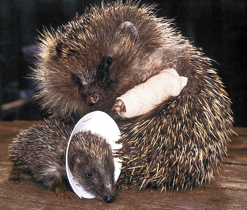 How a Lowly Hedgehog Raised the Bar on Wildlife Care
