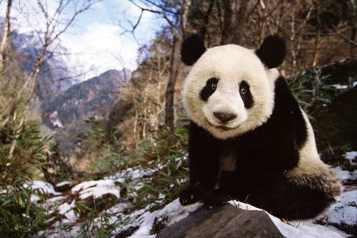 Wild Panda Population Up Dramatically in China, Government Says