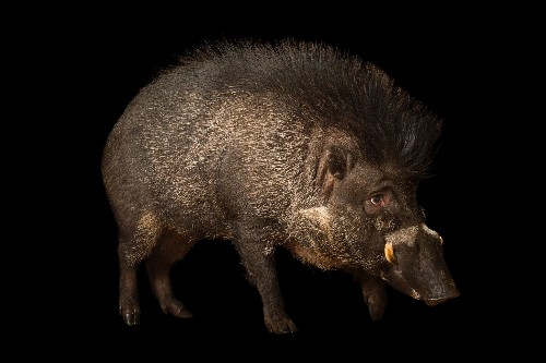 Pigs use tools