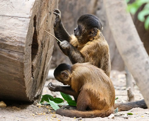 These monkeys are 3,000 years into their own 'Stone Age'