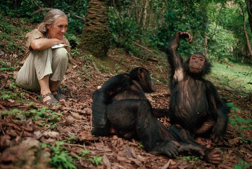 50 Years On, Chimps Studied By Jane Goodall Still Reveal Discoveries