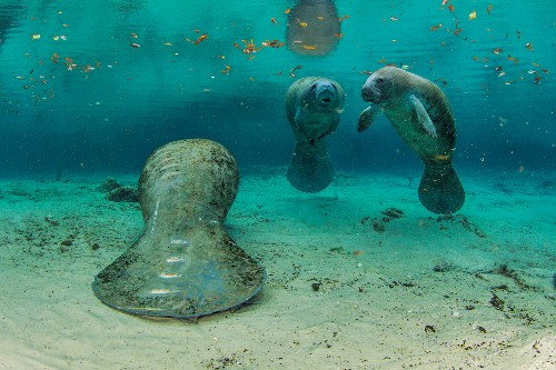 Florida's Manatees: The Search for Warmer Water