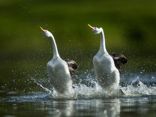 """Birds """"Walk"""" on Water to Impress Mates—Here's How They Do It"""