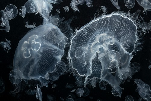 The upside of rising jellyfish numbers? Many animals eat them