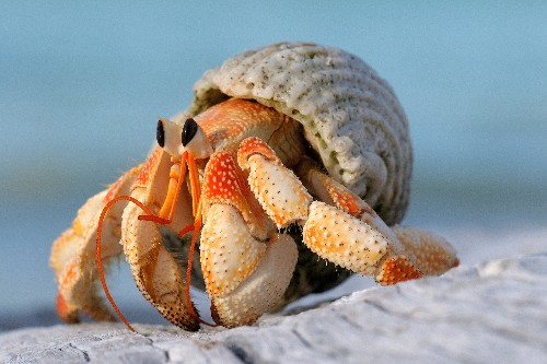 Male hermit crabs evolved larger sex organs to avoid losing homes