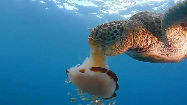 Jellyfish are the 'snack food' of the sea—and that's a good thing