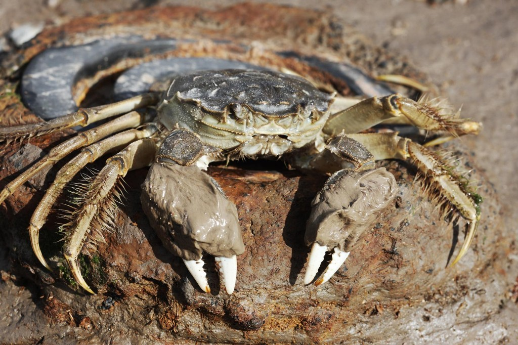 In 'Operation Hidden Mitten,' U.S. cracks down on smuggling of hairy-clawed crab