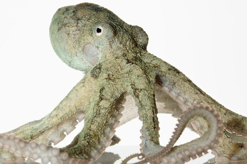 Is it wrong to keep octopuses in captivity?