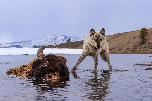 Striking Photos Capture the Wild Wolves of Yellowstone