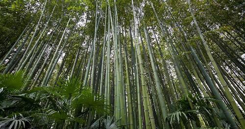 Bamboo Mathematicians