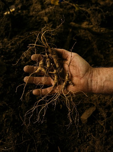 Demand for ginseng is creating a 'wild west' in Appalachia
