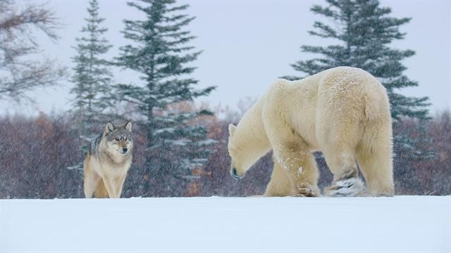 Wolf pack and polar bear face-off in the Canadian Arctic