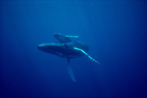 Mysterious ocean 'blob' may have led to fewer baby whales