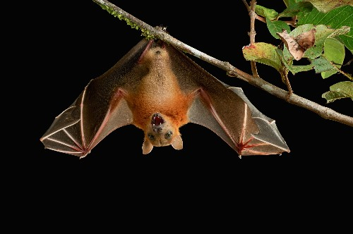 Mystery Solved: How Bats Can Land Upside Down