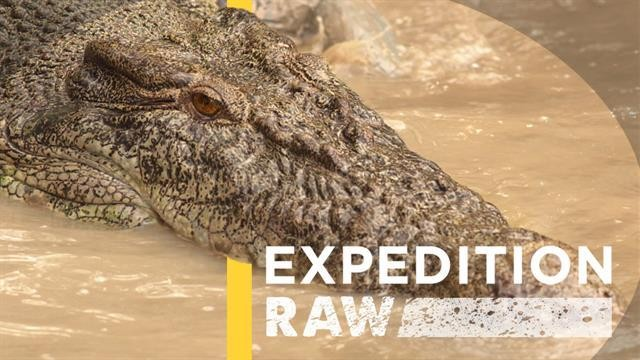 "Explaining ""Saltie"" Saltwater Crocodiles That Attacked Boys in Australia"