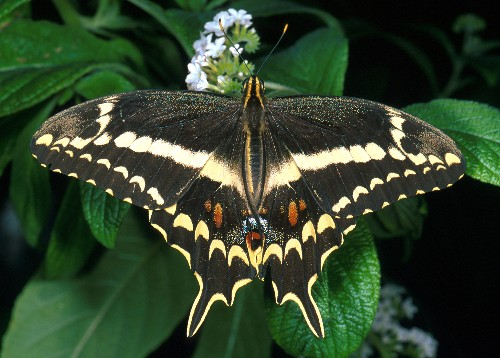 Hope for Endangered Butterfly Species