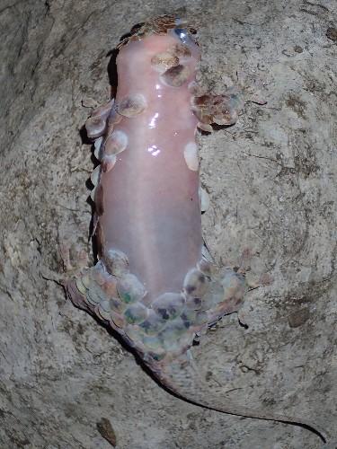 New Gecko Sheds Skin on Demand, Looks Like Raw Chicken