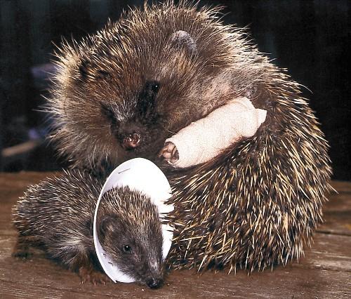 How a Lowly Hedgehog Raised the Bar on Wildlife Care