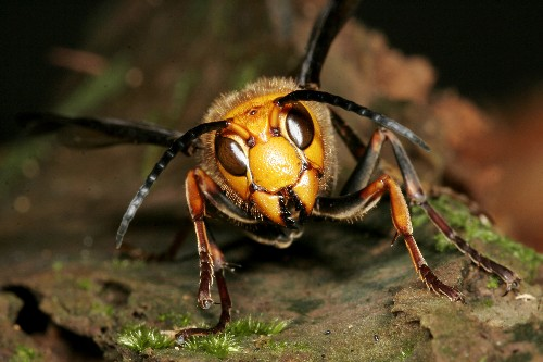 World's Biggest Hornet: Insect Behind Deadly Attacks