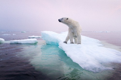 Polar Bear Numbers Plummeting in Alaska, Canada—What About the Rest?
