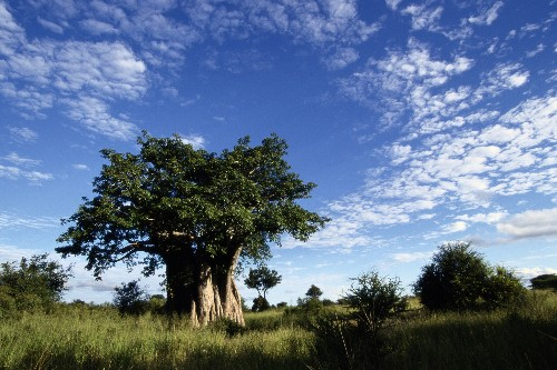 Africa's Oldest Trees Are Dying, and Scientists Are Stumped