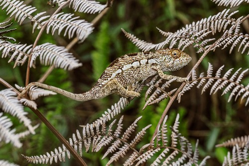 Chameleons' Craziest Color Changes Aren't for Camouflage