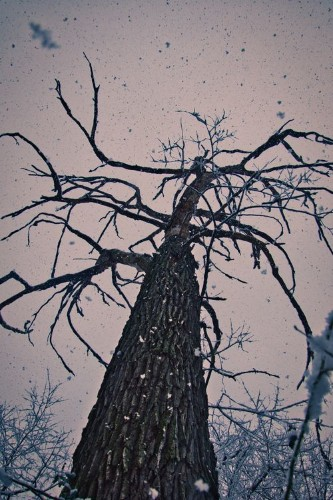 Monster tree in the snowfall Photo by Rob Urquhart — National Geographic Your Shot
