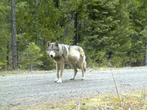Lone Wolf That Took Epic Journey Across West Finds a Mate