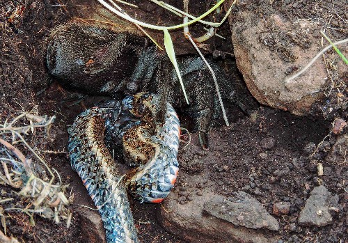 Tarantula Found Eating a Snake in Wild for First Time