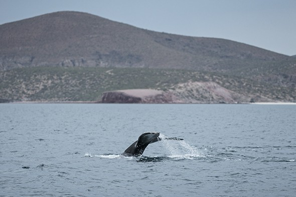 Navigating Baja: Swimming with the Ocean's Largest Fish – Dispatch #8