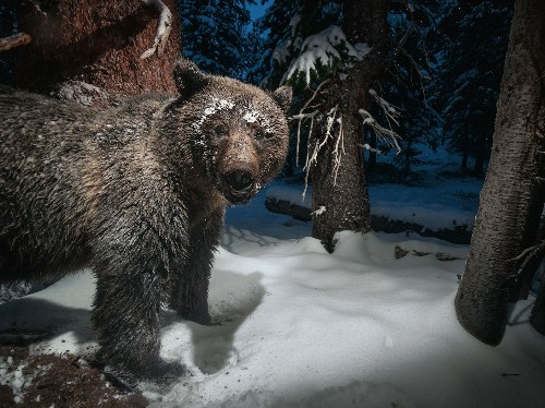 Looking for Hungry Grizzlies—on Purpose