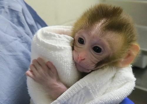 First primate born using frozen testicle technique