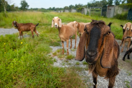 Goats can perceive each other's emotions from their voices