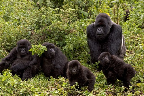 Friend or foe, gorillas groom their dead
