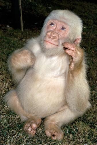 Albino Gorilla Was Result of Inbreeding
