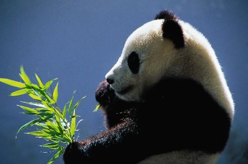 Panda Poop Might Help Turn Plants Into Fuel