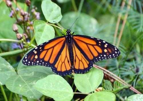 """Migrating Monarch Butterflies in """"Grave Danger,"""" Hit New Low"""