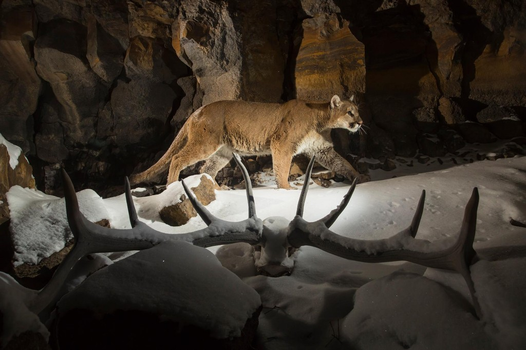 A quiet plague outbreak has been killing Yellowstone's cougars for years