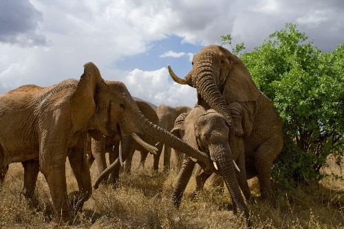 Elderly male elephants are the most determined to mate