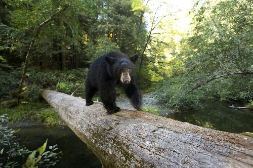 Canada Mauling Reflects Spike in Human-Bear Encounters