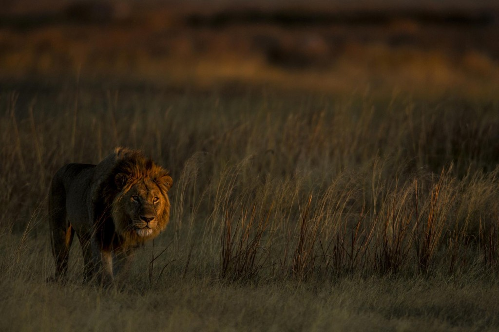Where lions were once hunted, they've miraculously reclaimed the land