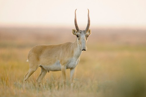 For World's Oddest-Looking Antelope, Signs of a Comeback