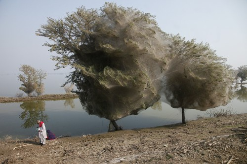 Pictures: Trees Cocooned in Webs After Flood