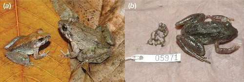 New Frog Species Reproduces Like No Other